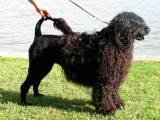 как выглядит Португальская водяная собака
