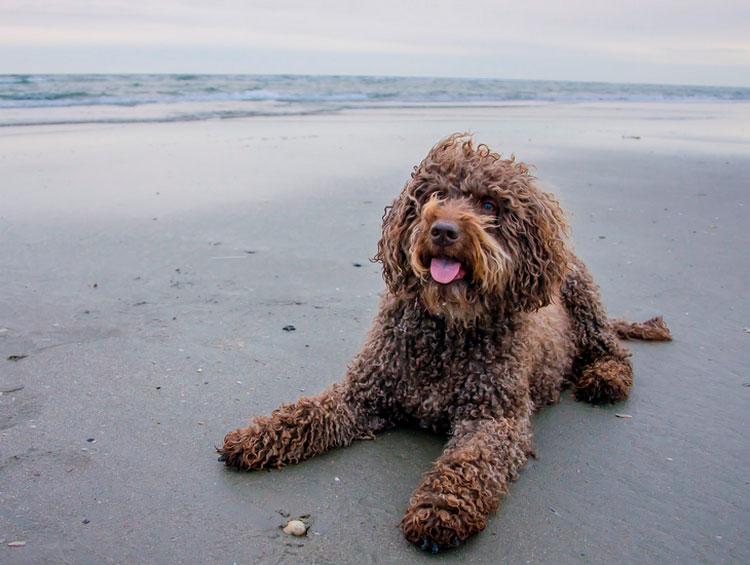 Португальская водяная собака характер