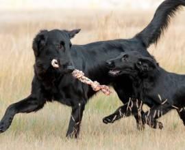 Прямошерстный ретривер взрослый и щенок