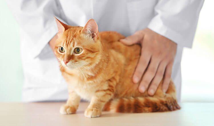 Осмотр кошки в больнице