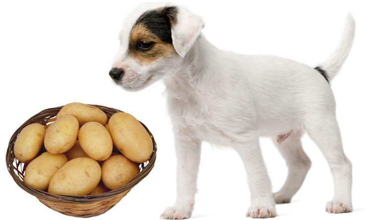 Собака ест картофель