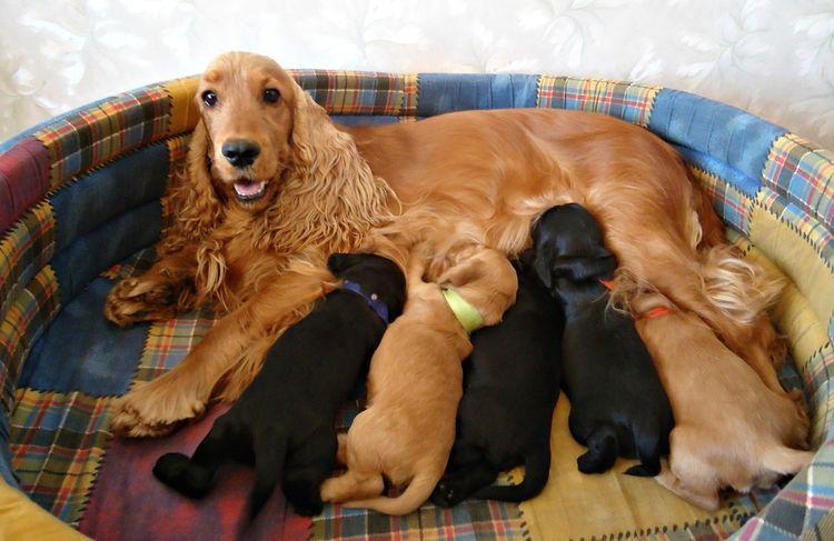 Спаниель кормит щенков