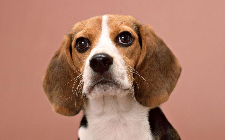 Усы собаки