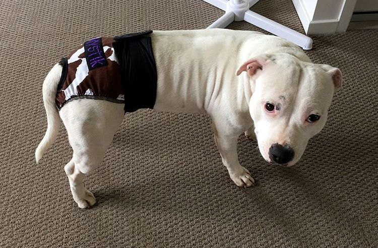 Собака в подгузнике