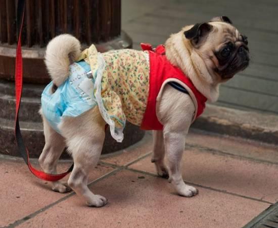 Памперс для собаки