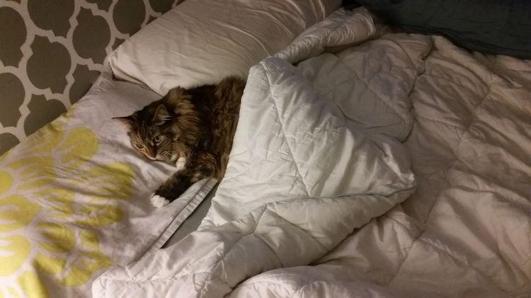 Кот спит в постели человека