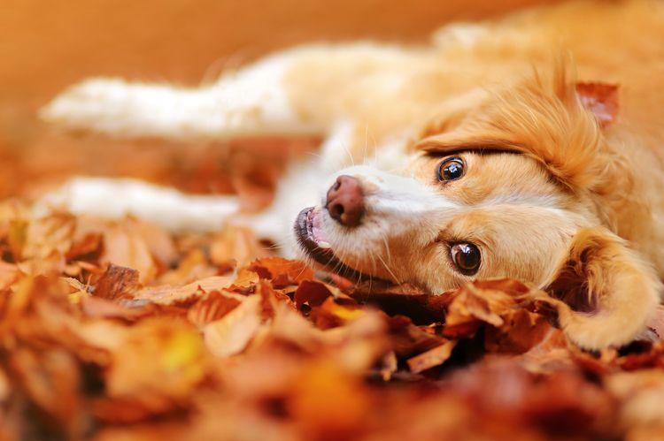 Собака валяется в листьях