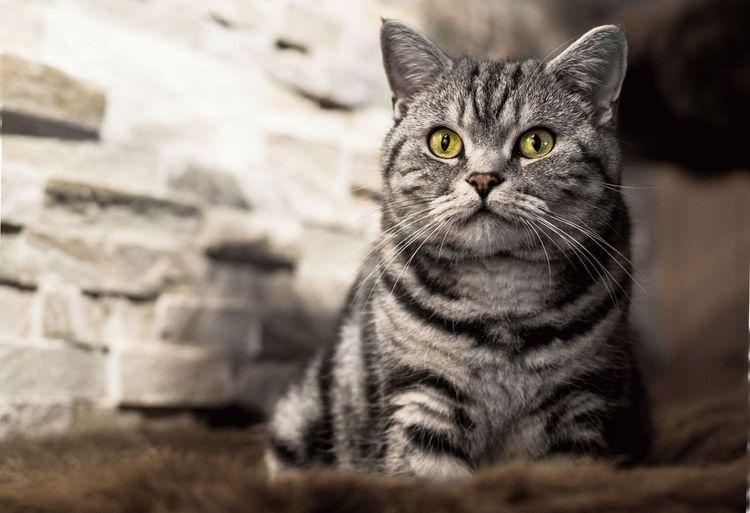 Табби окрас кошки