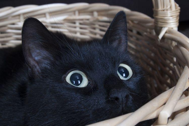 Черный кот прячется в корзнинке