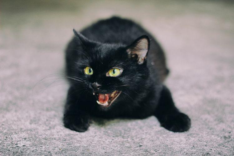 Черный котенок шипит