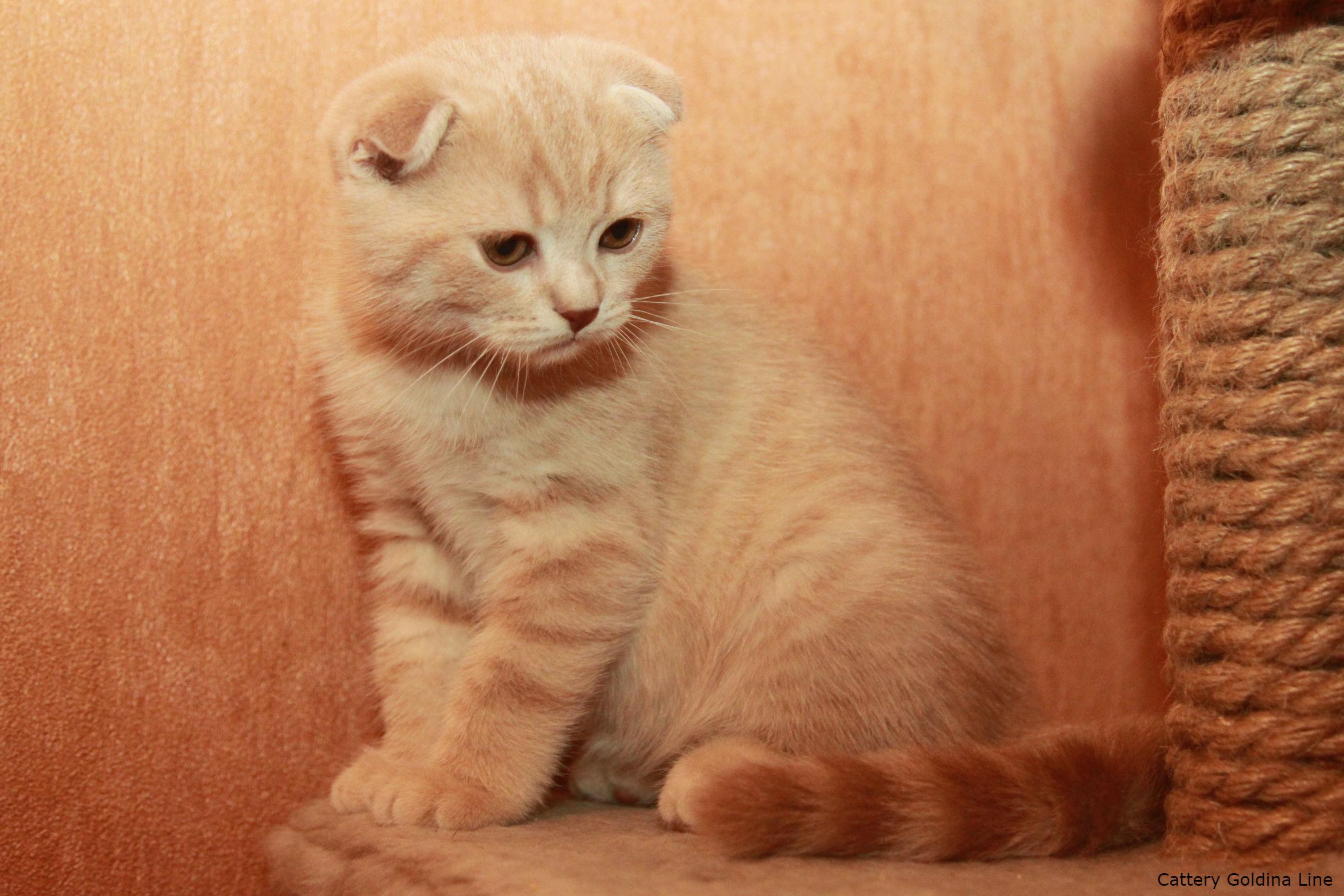 вислоухие котята редкие окрасы фото прошлом, листы крафт-бумаги