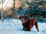 Чесапик-бей-ретривер в снегу