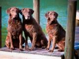 три собаки породы Чесапик-бей-ретривер
