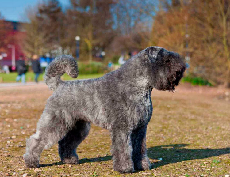 собака породы Фландрский бувье