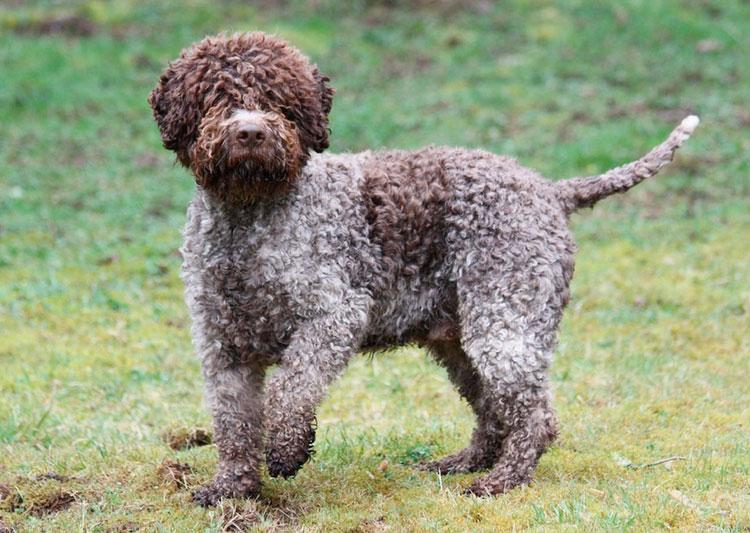собака породы Лаготто-романьоло