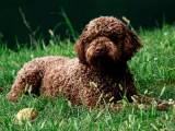 Лаготто-романьоло - итальянская водяная собака