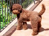 Лаготто-романьоло коричневый
