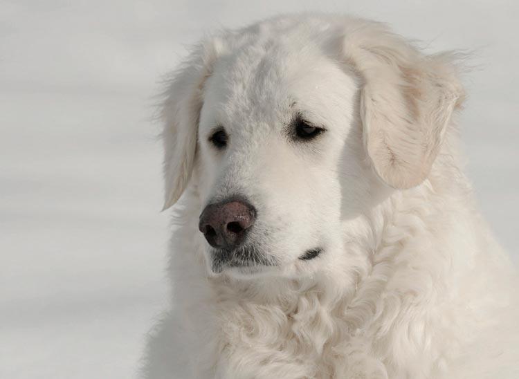 порода собак Подгалянская польская овчарка