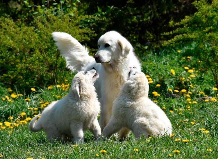 собаки породы Подгалянская польская овчарка