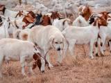 Подгалянская польская овчарка в стаде коз