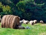 Подгалянская польская овчарка с овцами