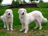 две собаки породы словацкий чувач