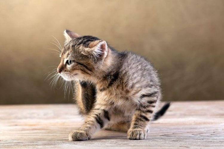 Блохи у котенка