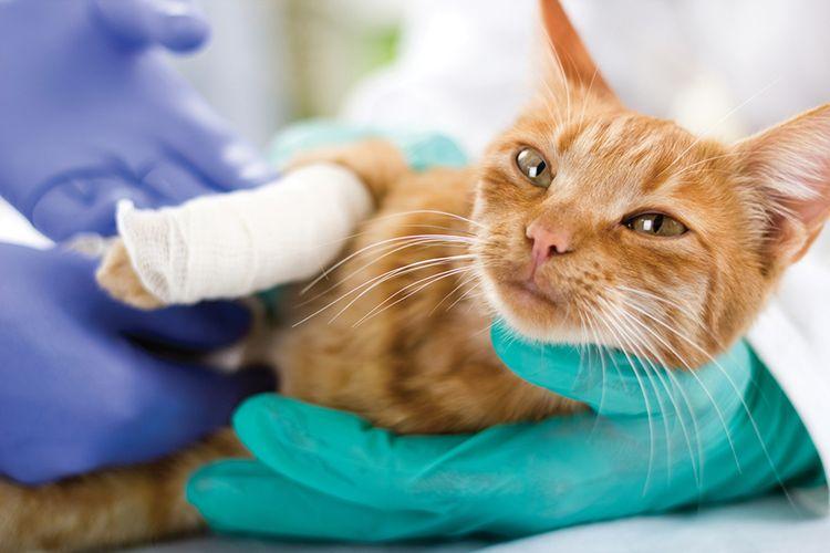 Перелом лапы у кота