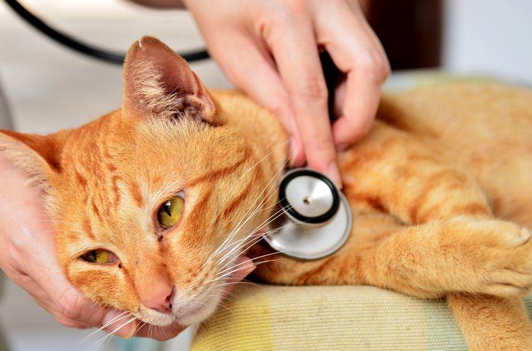 Проверка кота на заболевания