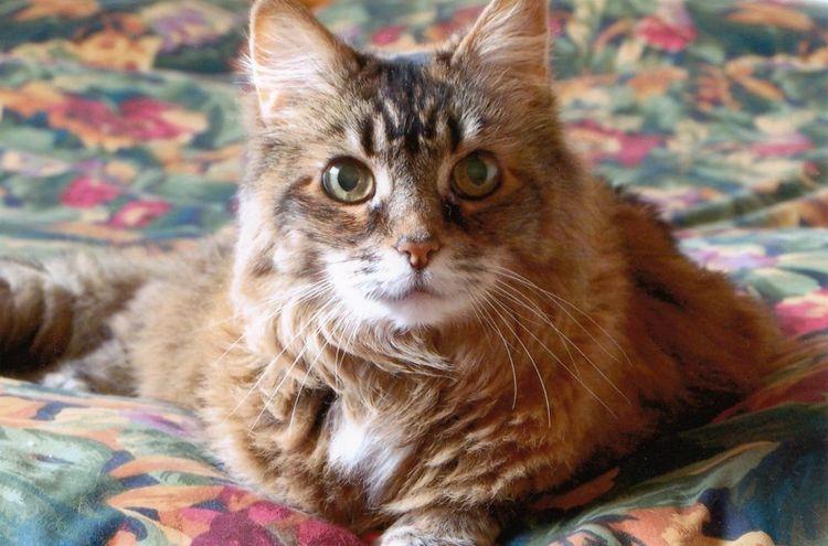 Пушистый кот на ковре