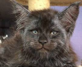 Валькирия: кошка с человеческим лицом
