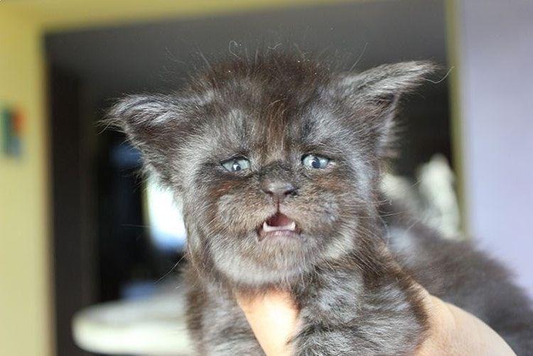 Котенок с лицом человека