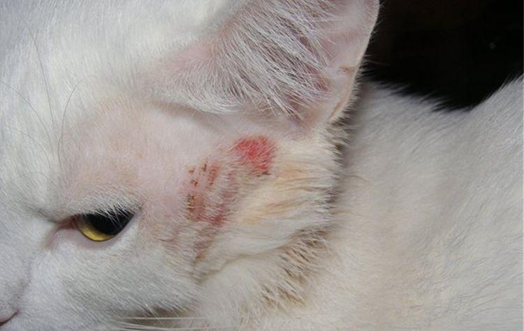 Кожное заболевание у кошки