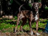 Леопардовая собака катахулы стандарт