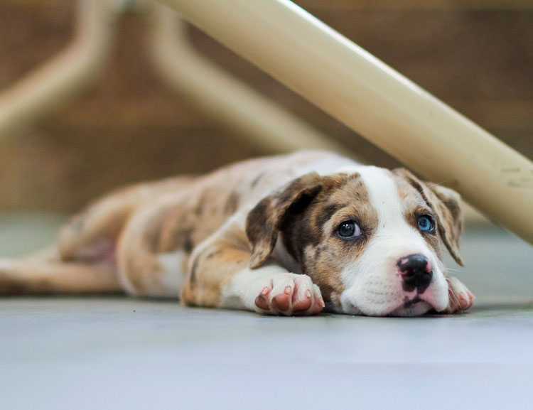 щенок Леопардовая собака Катахулы