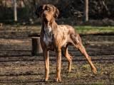 Леопардовая собака катахулы для охоты