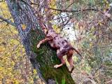 Леопардовая собака катахулы на дереве