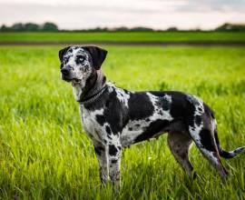 Леопардовая собака катахулы на поле