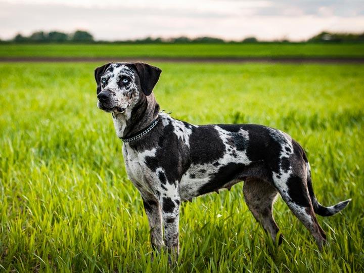 шелк леопардовая собака катахулы фото крестьянин или