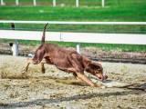 Леопардовая собака катахулы курсинг
