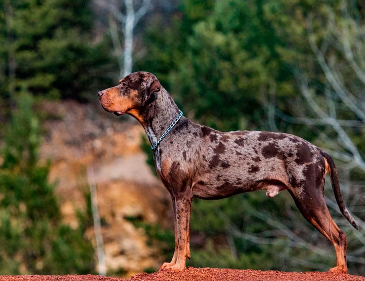Леопардовая собака катахулы окраса мерль