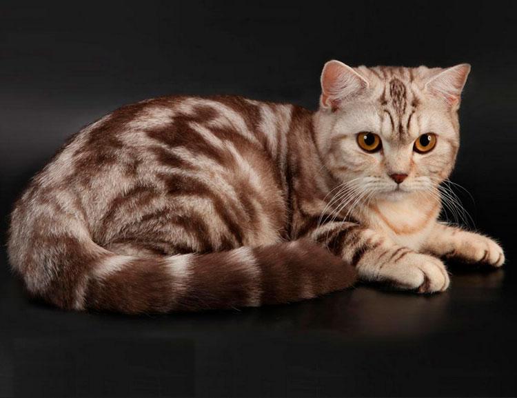 мраморная кошка шоколадная