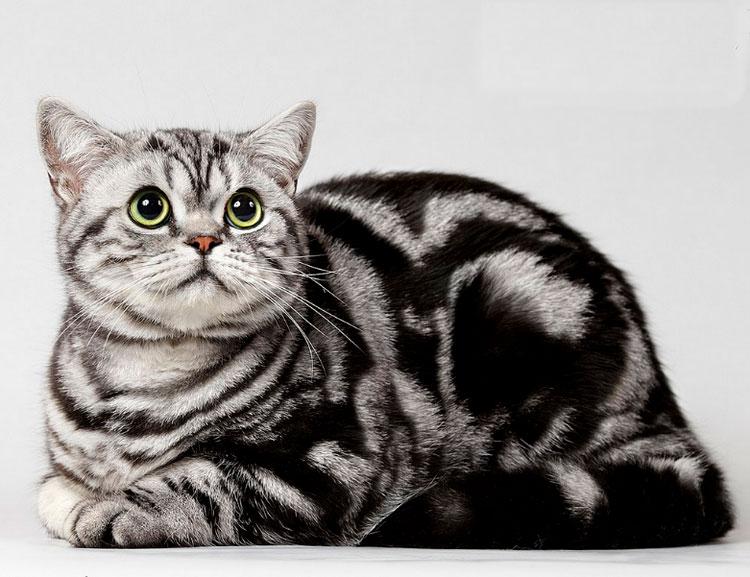 Британская кошка (черный мрамор на серебре)