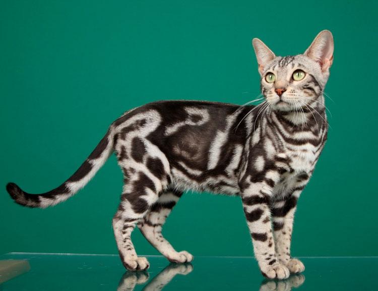 Бенгальская кошка марбл (мраморный)