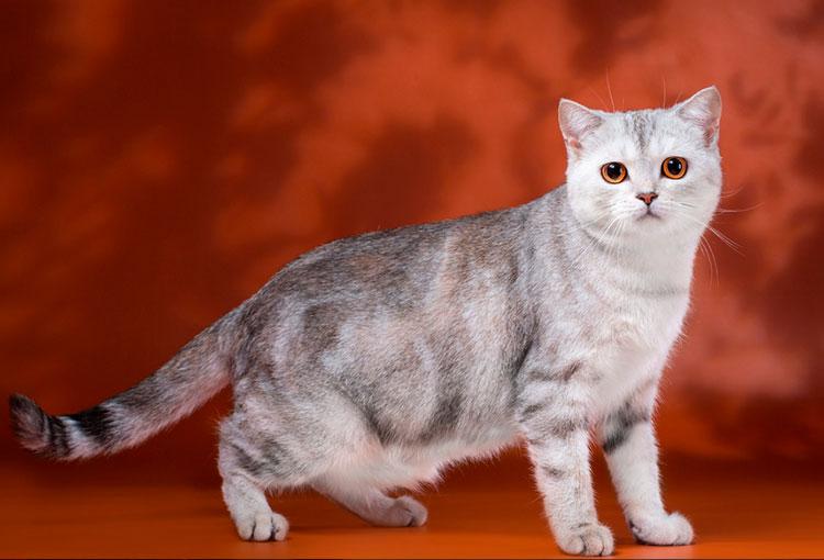 шотландская прямоухая кошка окраса черепаховый мраморный