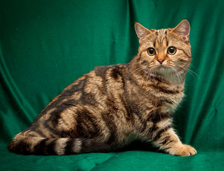 Британская кошка (черный мраморный на золоте)