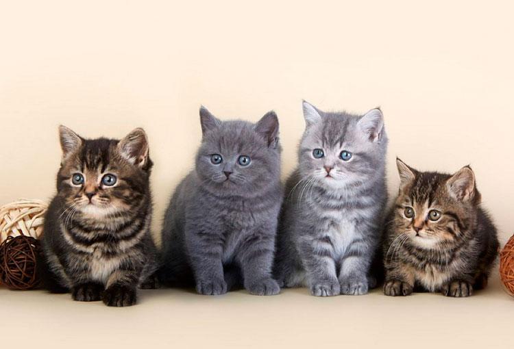 Котята табби и муар