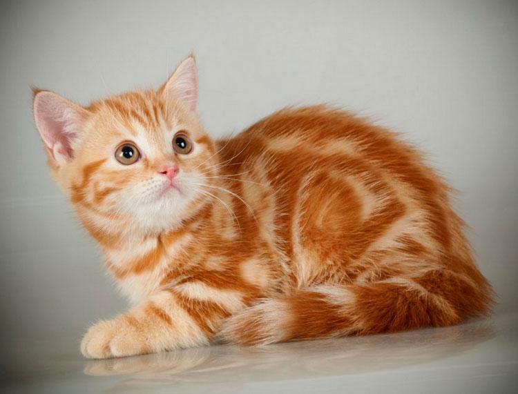 Котенок красного мраморного окраса