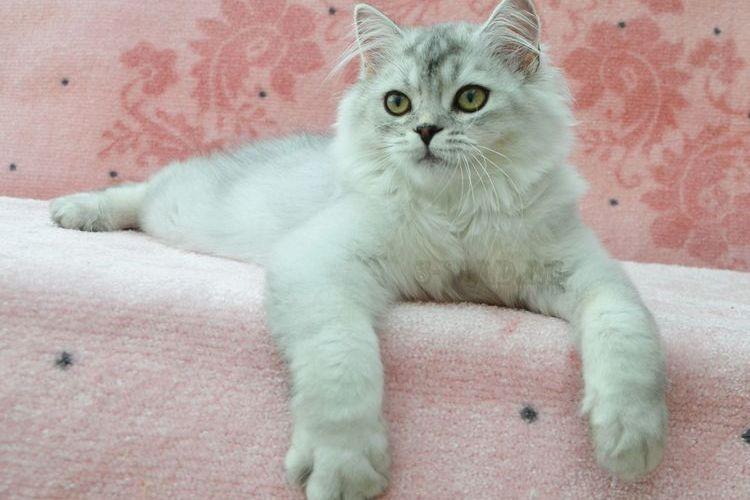 Питомник шотландских кошек Intensity