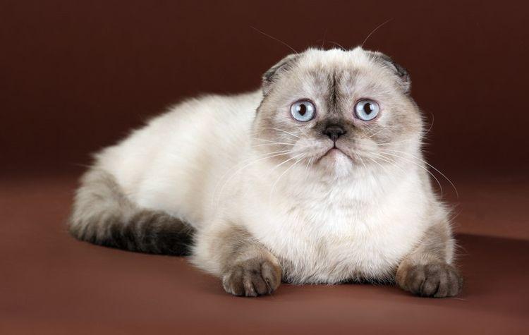 Питомник шотландских кошек Life Joy